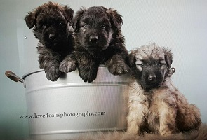 Image of Bouvier puppies