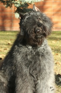 Bouvier image: Beautiful Taboo